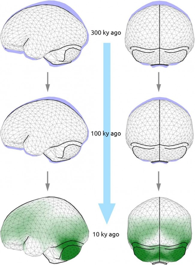 현생인류 뇌 모양 변화를 비교했다. 30만 년 전 현생인류는 현대인에 비해 뇌의 위아래가 납작했고 좌우는 더 넓었다. 약 10만 년 전부터 정수리 뒤가 솟아오르기 시작해 3만 5000년 전부터는 현대인과 거의 비슷해졌다. 맨 아래는 1만 년 전 신석기인의 뇌다. - 사이언스 어드밴시스 제공